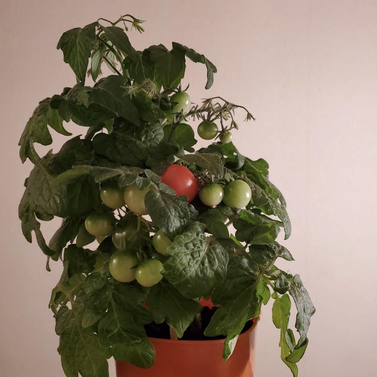 トマト栽培はじめます