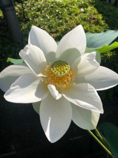 清らかな白い蓮の花!